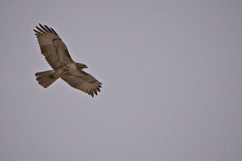 Red-Tailed Hawk Soars High
