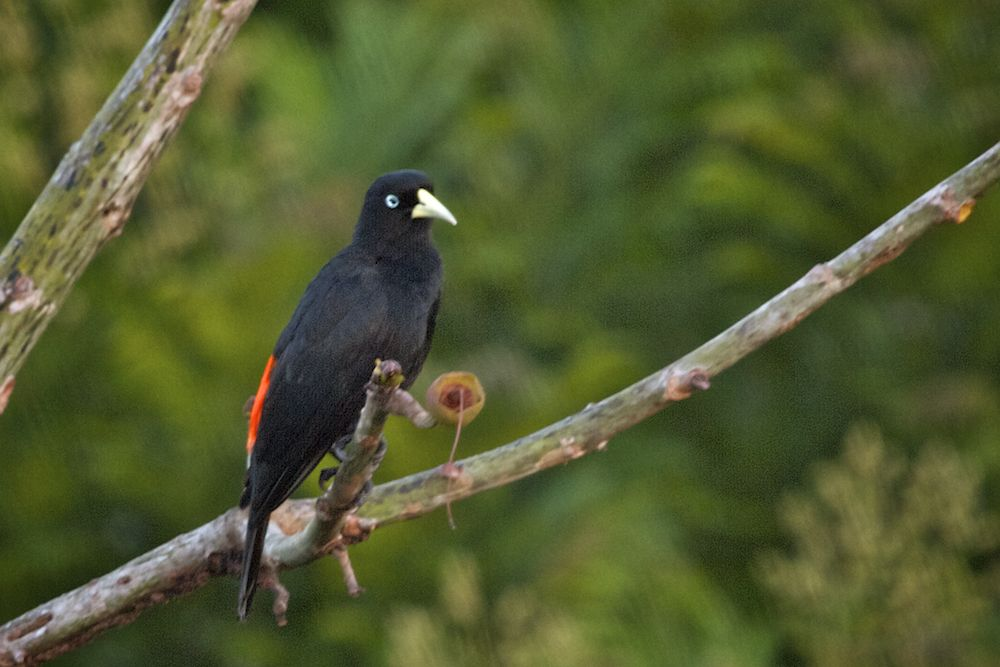 A Scarlet-rumped Cacique & Panamau0027s Canopy Tower: Bird Life