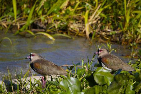 Two Southern Lapwings