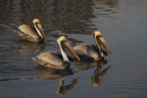 Three Brown Pelicans at Rest