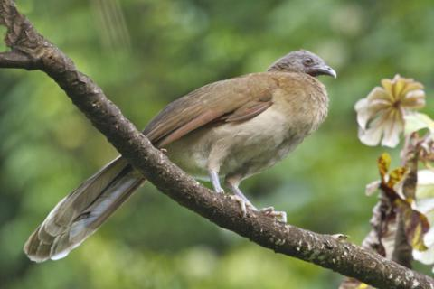 A Gray-Headed Chachalaka