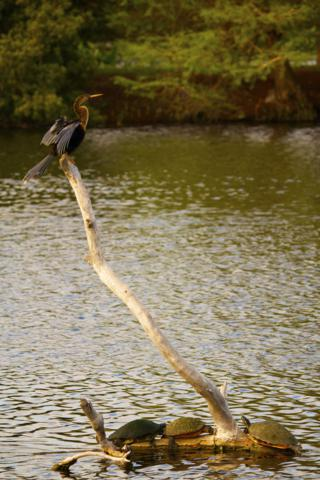 One Anhinga and Three Turtles