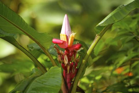 A Banana Flower
