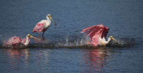 Roseate Spoonbills Take Their Morning Bath