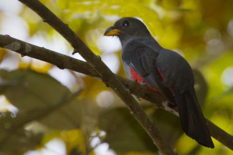 A Female Black-tailed Trogon
