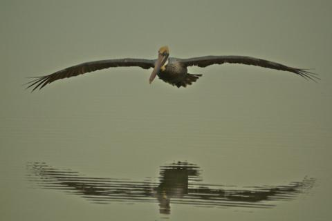A Brown Pelican Reflected on the Lagoon at Daybreak