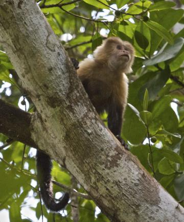 A White-faced Capuchin Monkey