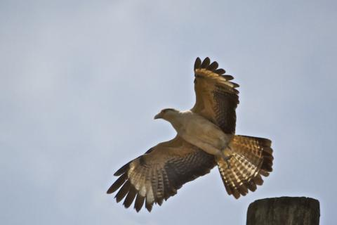 A Yellow-headed Caracara Takes Off