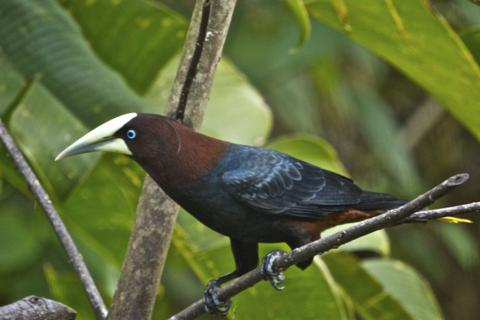 A Chestnut-headed Oropendola