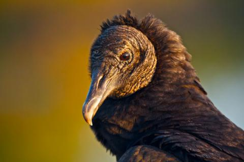 Close-up of a Black Vulture