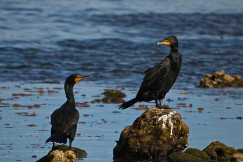 A Pair of Double-Crested Cormorants