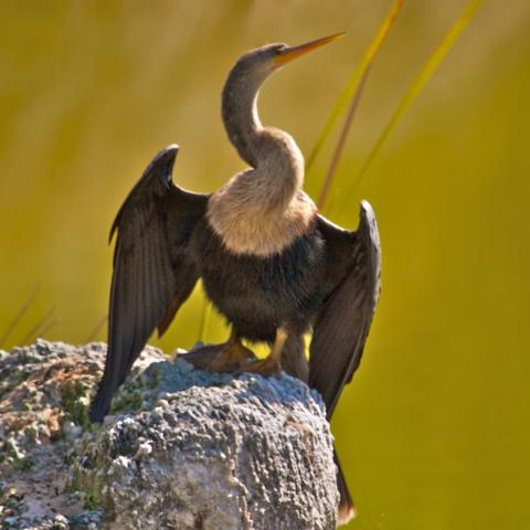 The Anhinga Dries its Wings