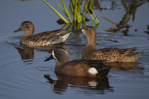 A Brace of Mottled Ducks