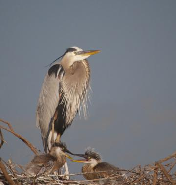 A Different Great Blue Heron Family