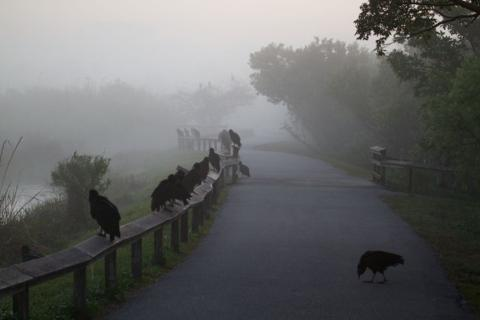 Fog and Vultures in the Everglades