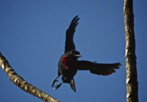 A Purple-throated Fruitcrow
