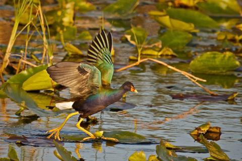 A Gallinule Almost Walks on Water