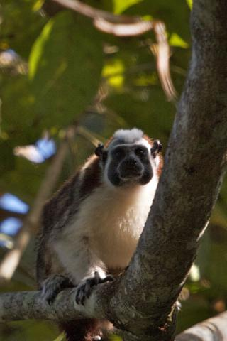A Geoffroy's Tamarin