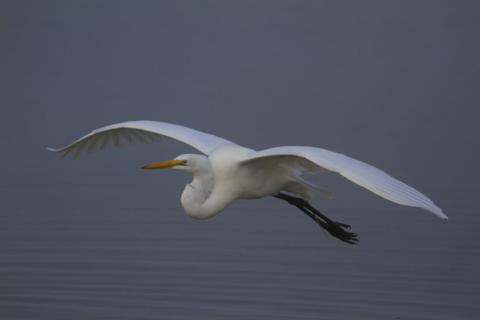 A Great Egret Flies by at Daybreak