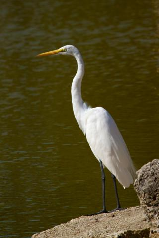 A White Morph Great Blue Heron, Sometimes Called a Great White Heron
