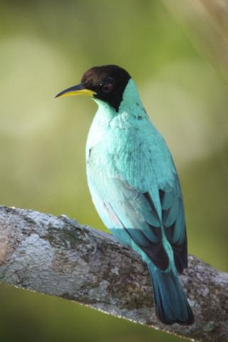 A Male Green Honeycreeper