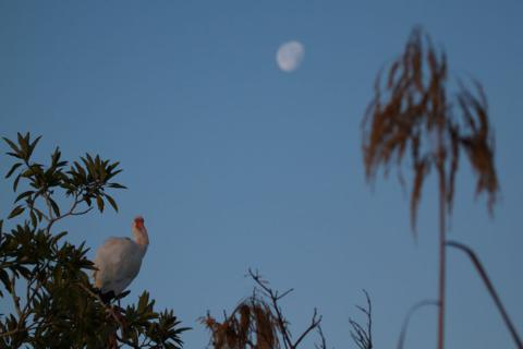 Ibis and Moon