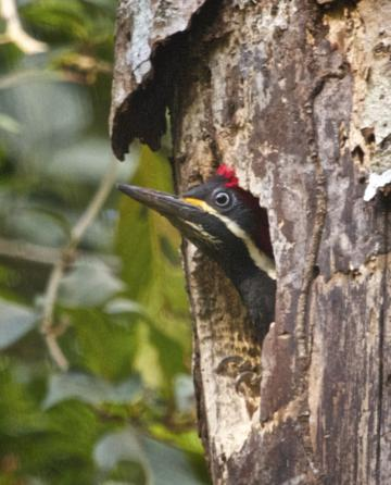Looking Scared, a Lineated Woodpecker Peaks out of its Hole