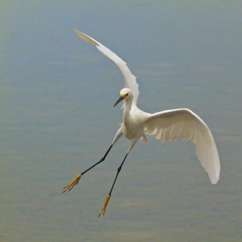 A Snowy Egret Lands at Daybreak