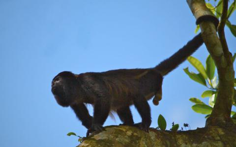 A Male Mantled Howler Monkey