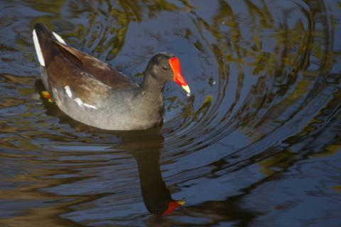 A Florida Gallinule (Also Known as a Common Moorhen)
