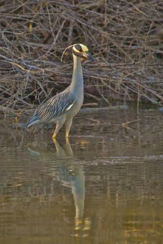 A Yellow-crowned Night-Heron at the Estero Lagoon