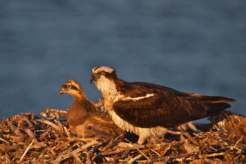 Osprey Parent and Chick Near Sunset