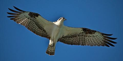 An Osprey Glides