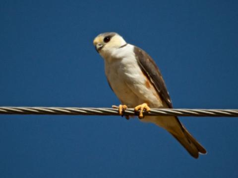 A Pearl Kite