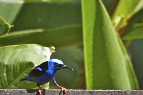A Male Red-legged Honeycreeper in Breeding Plumage
