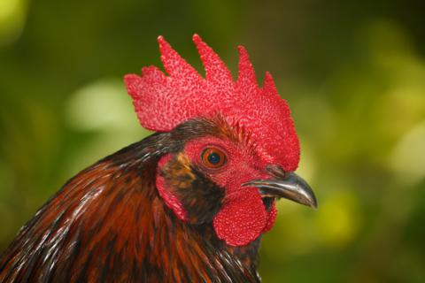 A Rooster in the Botanical Gardens