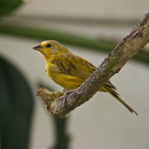 A Saffron Finch from South America
