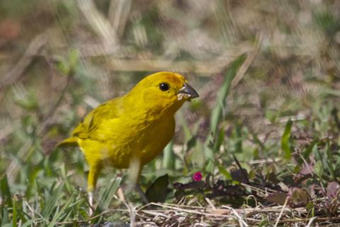 A Saffron Finch