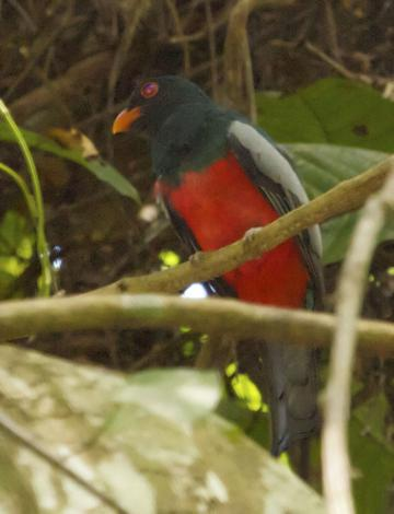 A Slaty-tailed Trogon