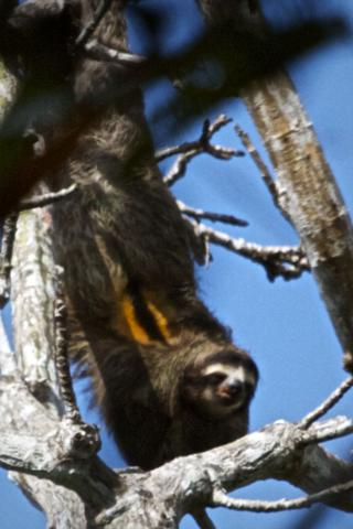 A Brown-throated Three-toed Sloth