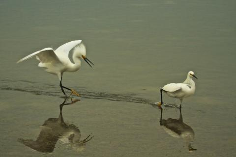 One Snowy Egret Chases Off Another