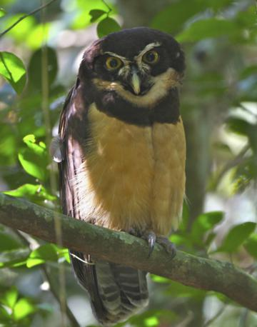 A Spectacled Owl