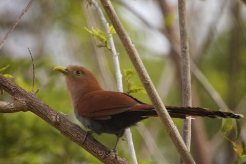 A Squirrel Cuckoo