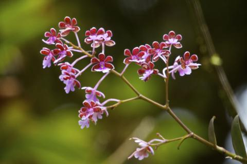 A Tree Orchid