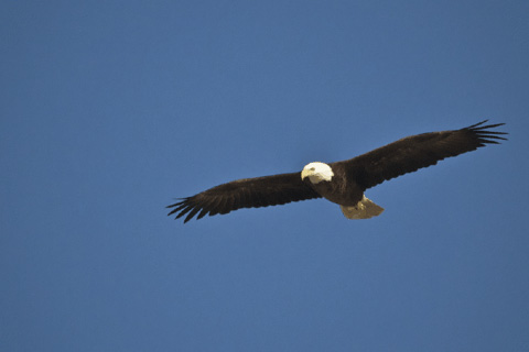 A Bald Eagle Soars