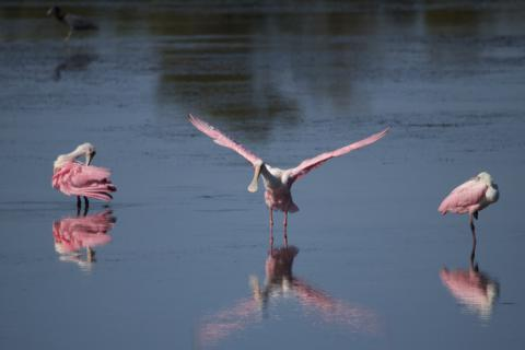 A Spoonbill Takes Off