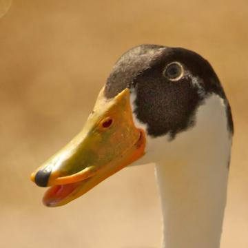 A Domestic Duck