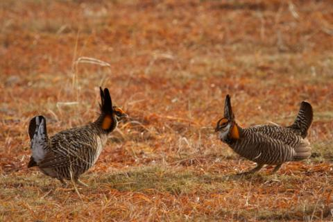 Two Greater Prairie-Chickens Prepare to Attack Each Other