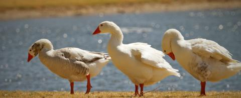 These Are Probably Domestic Geese