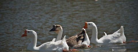 Three Chinese Geese, Feral Domestic Swan Geese